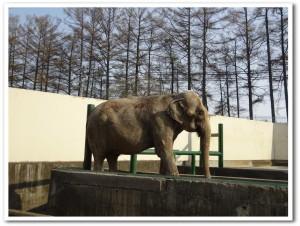 北海道おびひろ動物園-ゾウのナナ2018.04