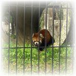 【釧路市動物園】レッサーパンダが可愛いʕ·ᴥ·ʔ
